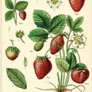 Poster – Affiche  fraises 50 X 70cm