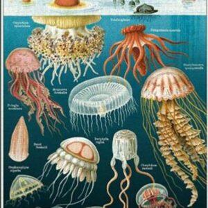 Affiche Méduses 50 X 70cm