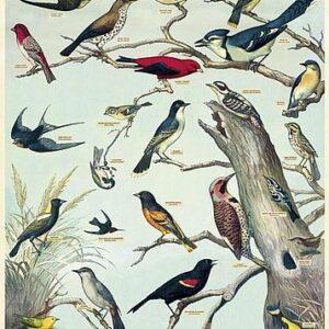 """Affiche 50 X 70cm """"Oiseaux Vintage"""""""